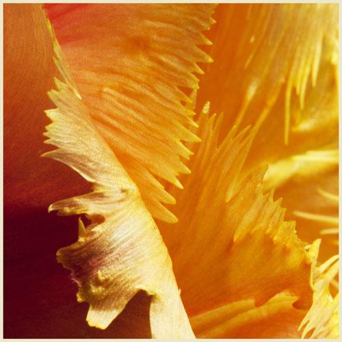 tulipimg_4967 kopie