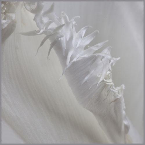 tulipimg_4971
