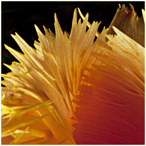 tulipimg_4972s kopie